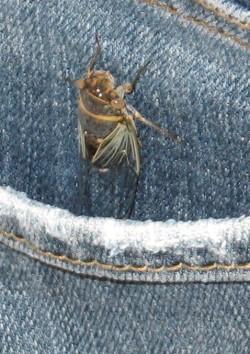 damn-cicada.jpg