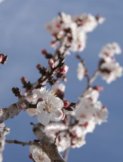 apricot-blossom.jpg