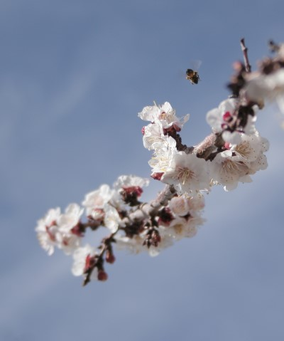 apricot-w-bee.jpg