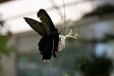 dark-butterfly.jpg