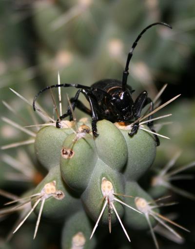 long horned cactus beetle