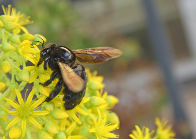 carpenter bee on sedum flower
