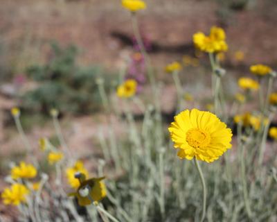 desert-marigold